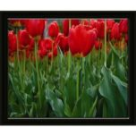 Lailas 'Orange Tulips 1' Framed Print